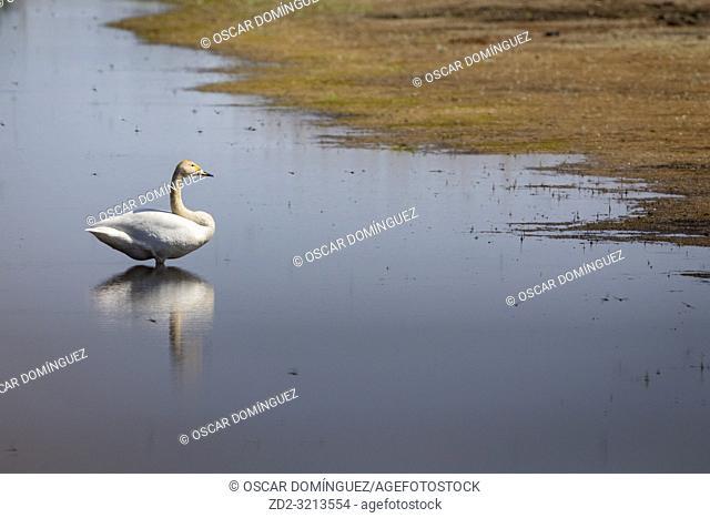 Whooper Swan (Cygnus cygnus) adult on water. Lubana Wetland Complex. Latvia