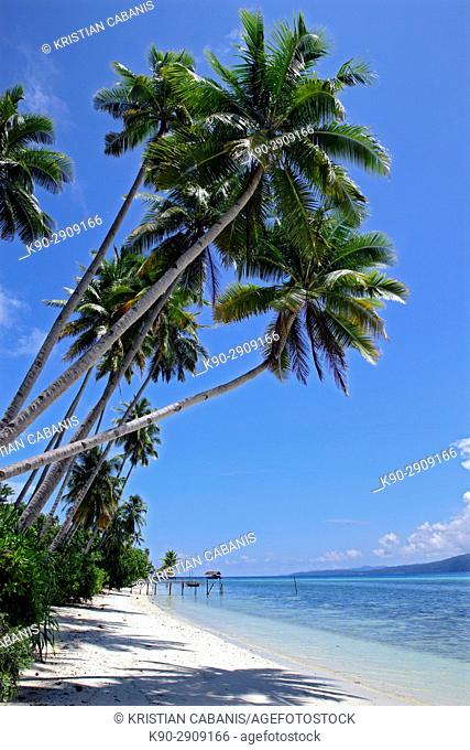 Coconut trees at the beach of an island in Raja Ampat Nationalpark, Papua, Indonesia, Southeast Asia