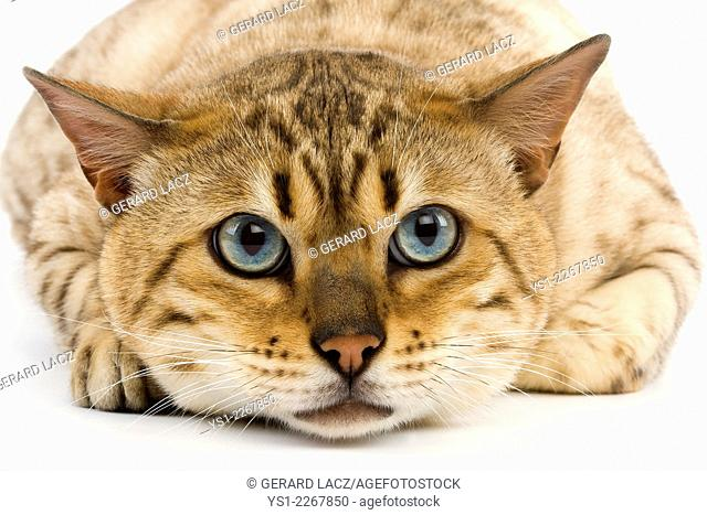 Seal Mink Tabby Bengale Male Domestic Cat against White Background