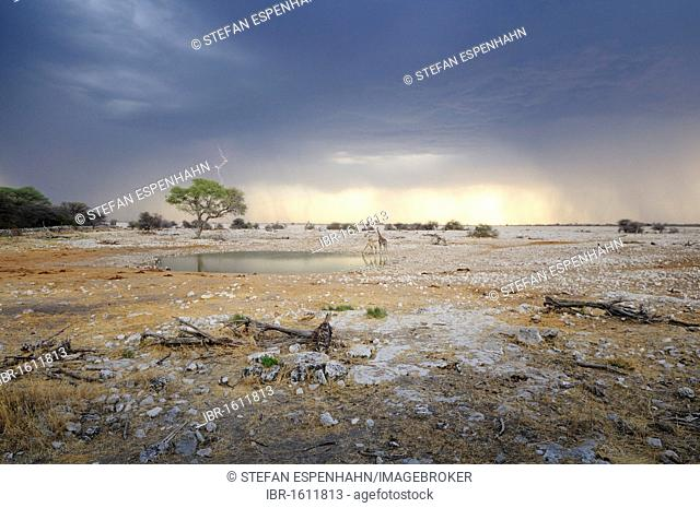 Stormy atmosphere at the water hole of Okaukuejo, giraffes (Giraffa camelopardalis), Etosha National Park, Africa, Namibia