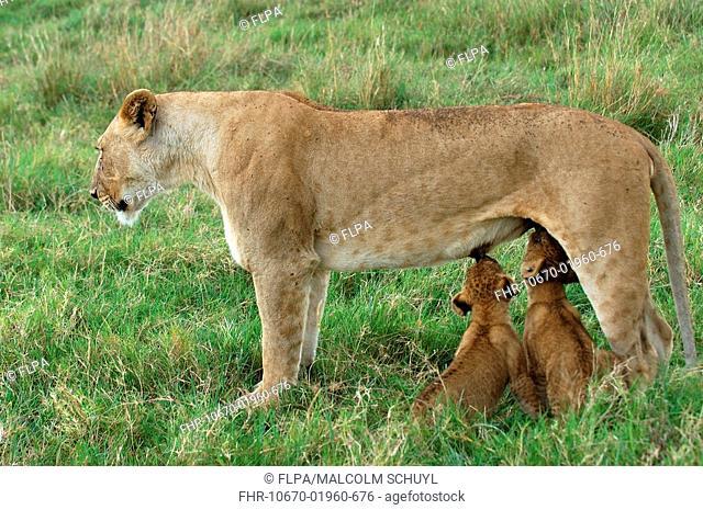 Lion Panthera leo adult female suckling cubs, Masaii Mara, Kenya