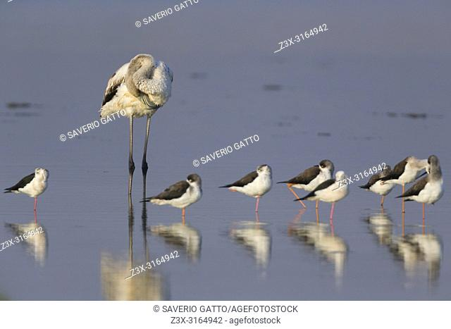 Greater Flamingo (Phoenicopterus roseus), Resting together with Black-winged Stilts, Salalah, Dhofar, Oman