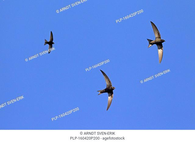 Feeding party of common swifts (Apus apus) in flight hunting for insects