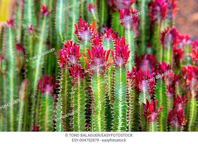 Lanzarote Guatiza cactus garden Euporbia Trigona from Namibia