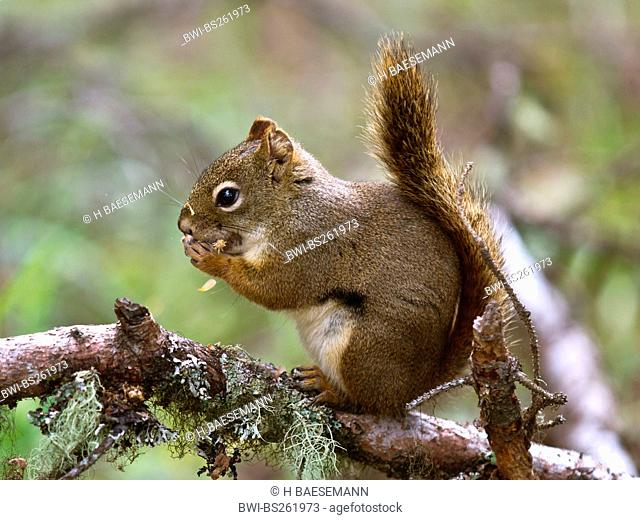 eastern red squirrel, red squirrel Tamiasciurus hudsonicus, sitting on a branch overgrown with lichen, Canada, British Columbia, Glacier Bay National Park