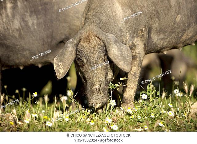 A Spanish Iberian pig, the source of Iberico ham known as pata negra, graze in a daisy field in Prado del Rey, Sierra de Cadiz, Cadiz province, Andalusia, Spain