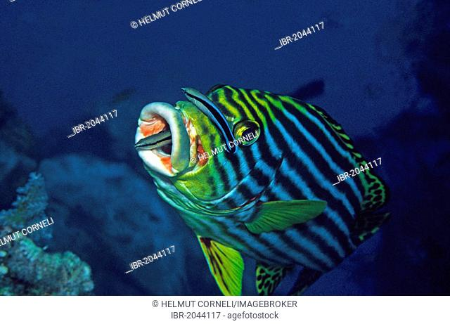 Oriental sweetlips (Plectorhinchus vittatus) with a bluestreak cleaner wrasse (Labroides dimidiatus), symbiosis, Maldives, Indian Ocean, Asia