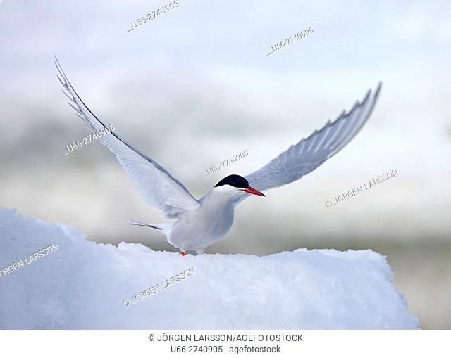 Arctic Tern, Svalbard, Norway