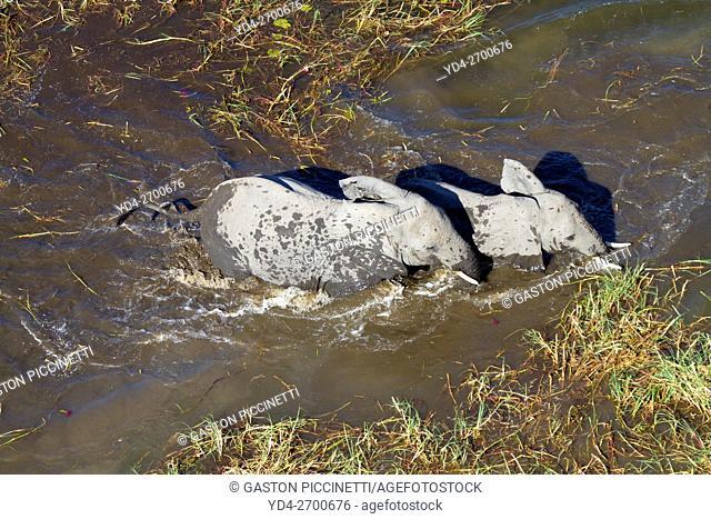 African Elephants (Loxodonta africana), in the freshwater marsh, aerial view, Okavango Delta, Botswana. . The Okavango Delta is home to a rich array of wildlife...