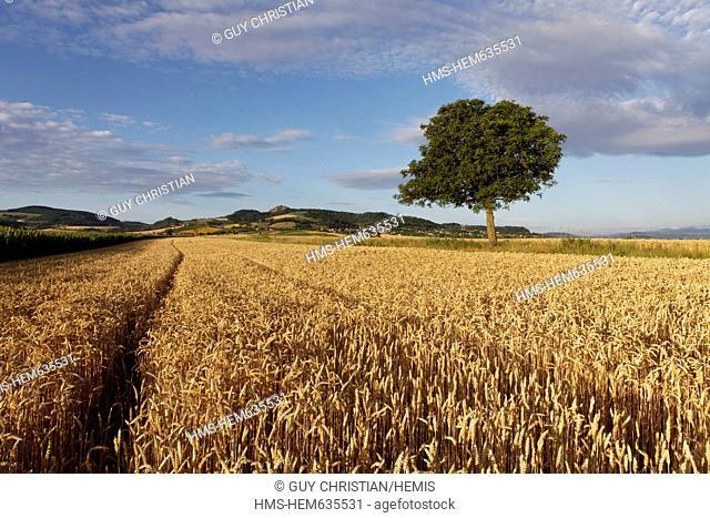 France, Puy de Dome, agricultural landscape near Billom, field of cereal