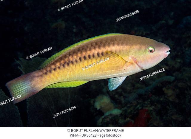 Juvenile Princess Parrotfish, Scarus taeniopterus, Palm Beach, Florida, USA