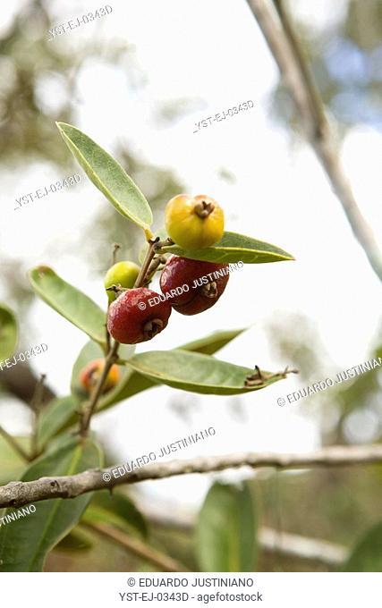 Fruit of Cambuim, São Gonçalo do Rio Preto, Minas Gerais, Brazil