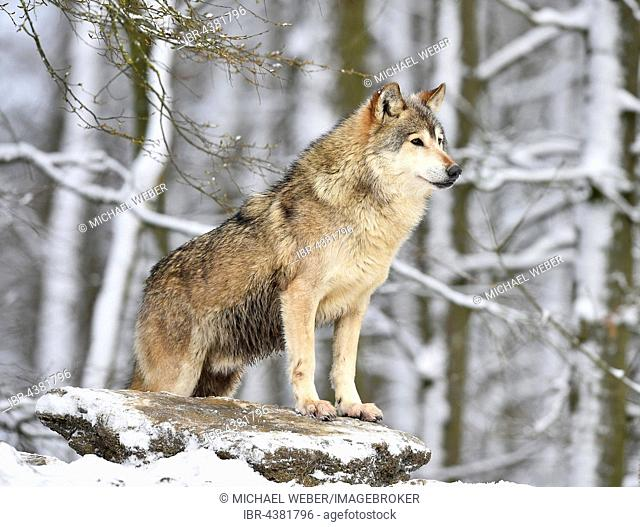 Male Eastern Wolf, Eastern timber wolf (Canis lupus lycaon) in winter, on the lookout, Baden-Württemberg, Germany