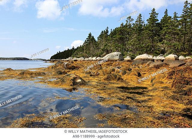 plants on rocky shore at lowest tide at the Atlantic coast at Nova Scotia, Canada, North America