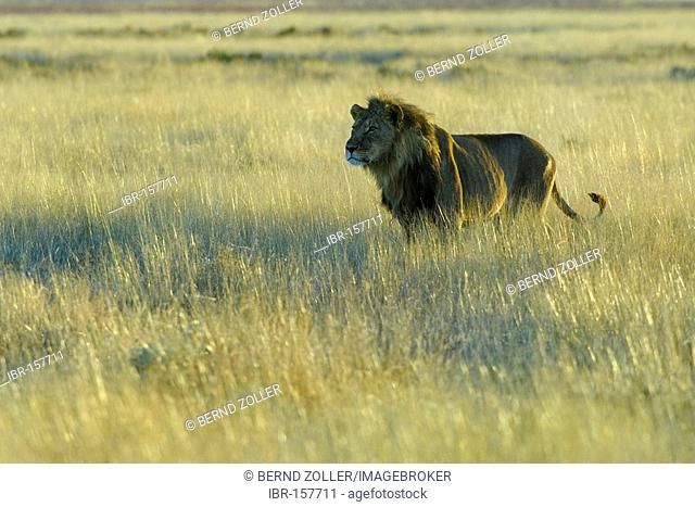 Lion (Panthera leo) stands in backlight