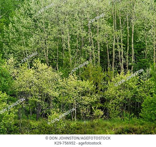 Fresh spring foliage in aspen trees with flowering serviceberry shrubs