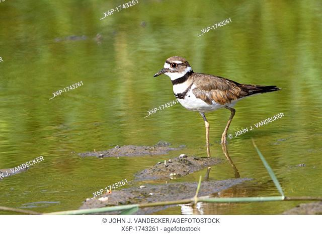 A Killdeer, Charadrius vociferus, walking through a shallow pond  Richard DeKorte Park, Lyndhurst, New Jersey, USA