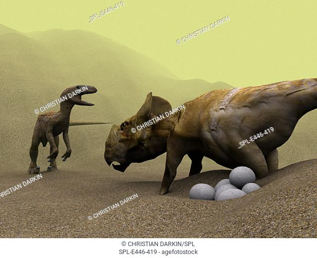 Protoceratops dinosaur (right) defending its  nest against  a raptor  dinosaur,  computer artwork.  A clutch of eggs is at lower  right