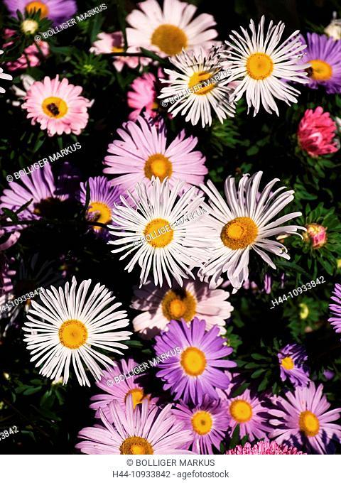 Asters, farm garden, flowers, Emmental, garden, canton Bern, Bern, composite, Rüderswil, Switzerland, Europe, white