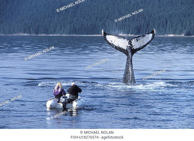 Humpback Whale Megaptera novaeangliae tail-slapping near researchers. Chatham Strait, Southeast Alaska, USA
