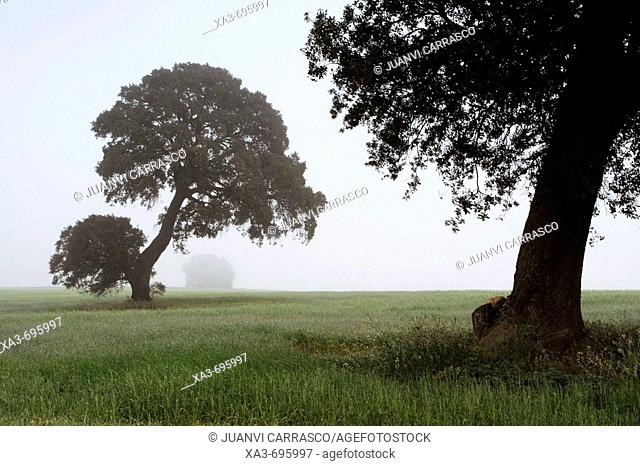 Holm Oaks (Quercus ilex) in fields. Castilla-La Mancha, Spain