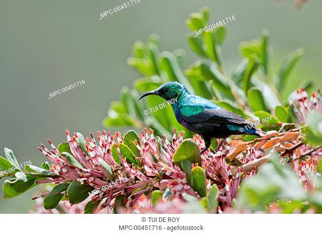 Mariqua Sunbird (Nectarinia mariquensis) male, Borana Ranch, Kenya