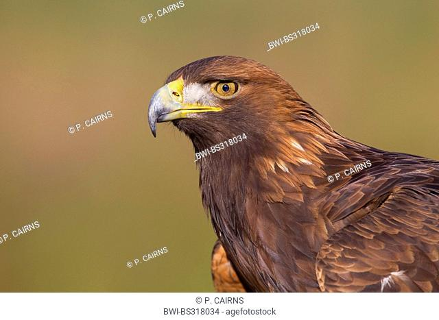 golden eagle (Aquila chrysaetos), portrait, United Kingdom, Scotland, Cairngorms National Park