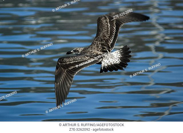 Juvenile Cape gull (Larus dominicanus vetula) searching for fish scraps, South Africa