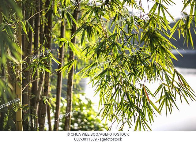 Yellow bamboos. Image taken at Bau Lake, Bau, Sarawak, Malaysia