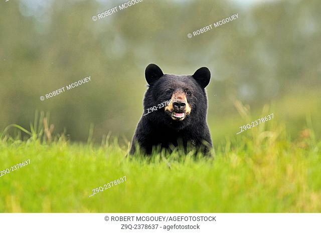A wild adult black bear 'Ursus americanus' looking frontward over the tall grass