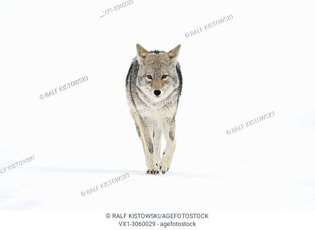 Coyote (Canis latrans) in winter, walking directly towards the photographer, holding eye contact, frontal shot, Yellowstone NP, Wyoming, USA