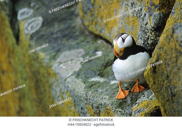 Alaska, animal, animals, bird, birds, cliff, coast, cliff wall, coast, Fratercula corniculata, Horned Puffin, Hornlu