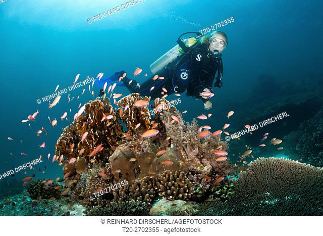 Diver and Pacific Flame Anthias, Pseudanthias dispar, Ambon, Moluccas, Indonesia