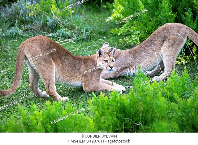 Chile, Patagonia, Magellan Region, Torres del Paine National Park, cougar (Puma concolor), also known as the mountain lion
