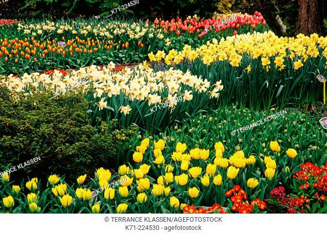 Tulips and daffodils at garden. Skagit Valley. Washington. USA
