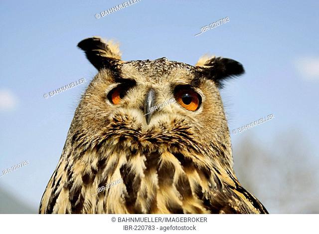 Bubo Bubo eagle owl bird