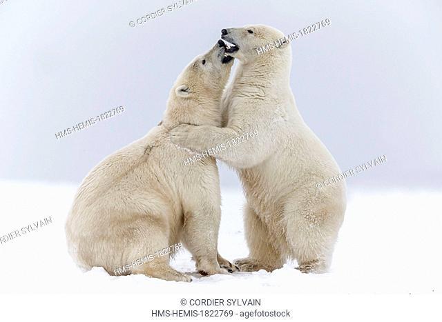 United States, Alaska, Arctic National Wildlife Refuge, Kaktovik, Polar Bear (Ursus maritimus), subadults playing along a barrier island outside Kaktovik