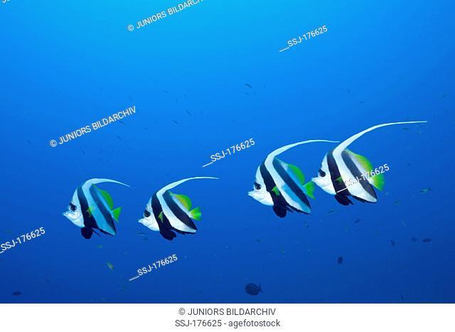 Pennant Bannerfish (Heniochus diphreutes). Four individuals at North Male Atoll, Maldives