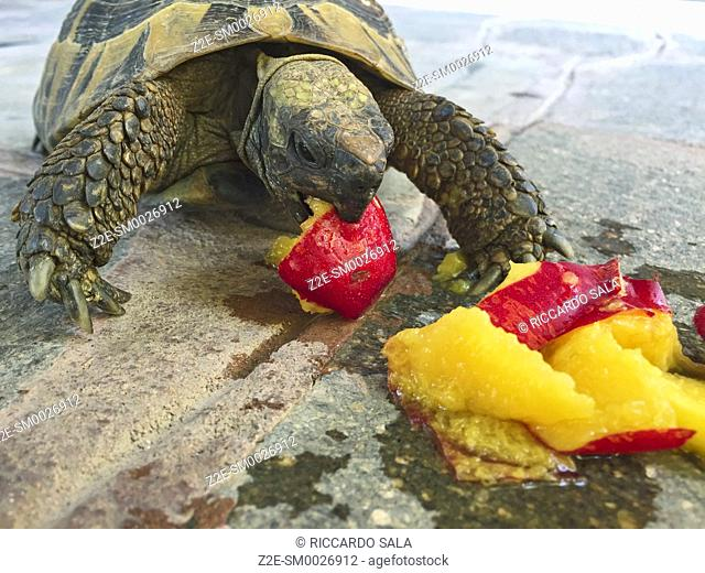 Tortoise Eating a Peach Fruit. .