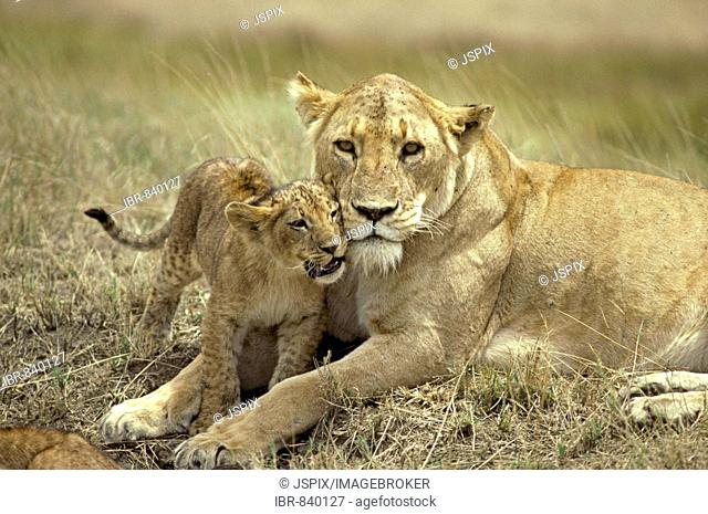 African lion (Panthera leo), adult female with cub, social behavior, portrait, Ngorongoro Crater, Tanzania, Africa