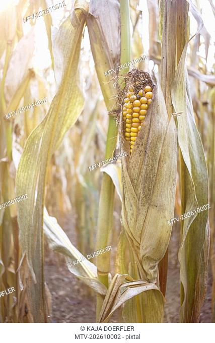 Close-up of corn cob in the field, Bavaria, Germany