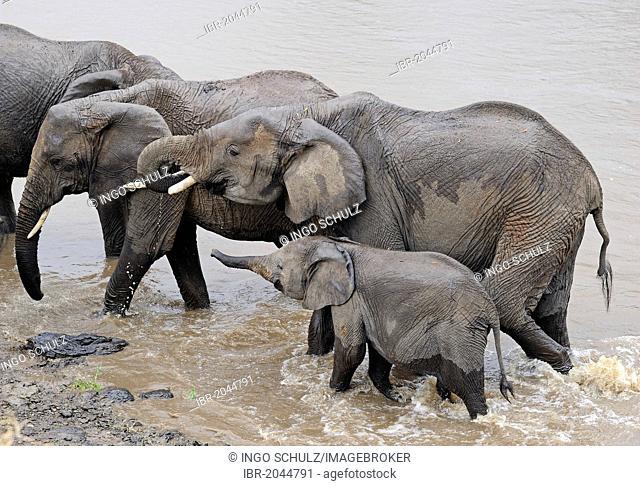 African Bush Elephants or African Savanna Elephants (Loxodonta africana), adults with young crossing the Mara River, Masai Mara, Kenya, East Africa, Africa