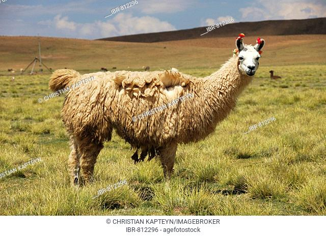 Llama, Altiplano, Bolivia, South America