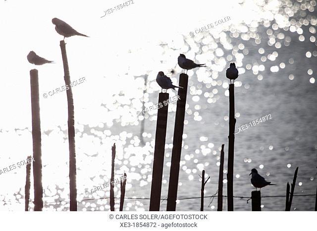 Seagulls on poles, Albufera de València, Valencian Community, Spain