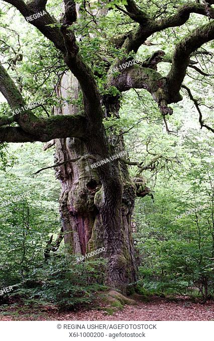 Oak Tree Quercus robur, ancient tree in summer, Sababurg Ancient Forest NP, N  Hessen, Germany