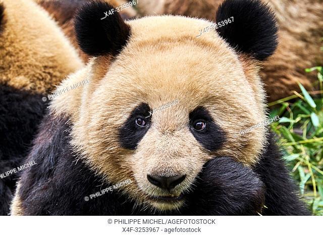 China, Sichuan province, Chengdu, Chengdu giant panda breeding research center