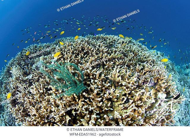 Corals building Coral bommie, Acropora sp., Melanesia, Pacific Ocean, Solomon Islands