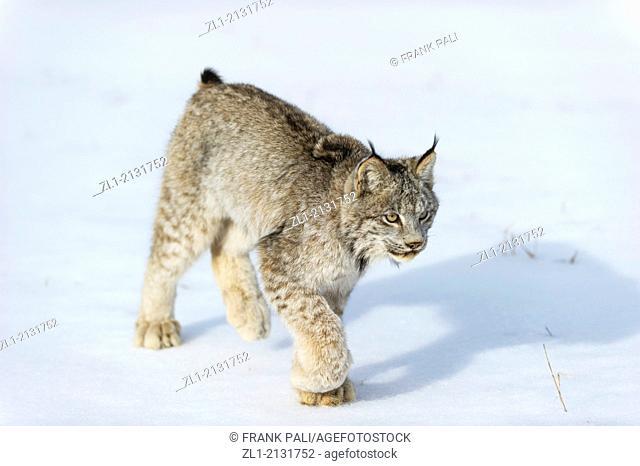 Canadian Lynx (Lynx canadensis) Captive, Bozeman, Montana, USA