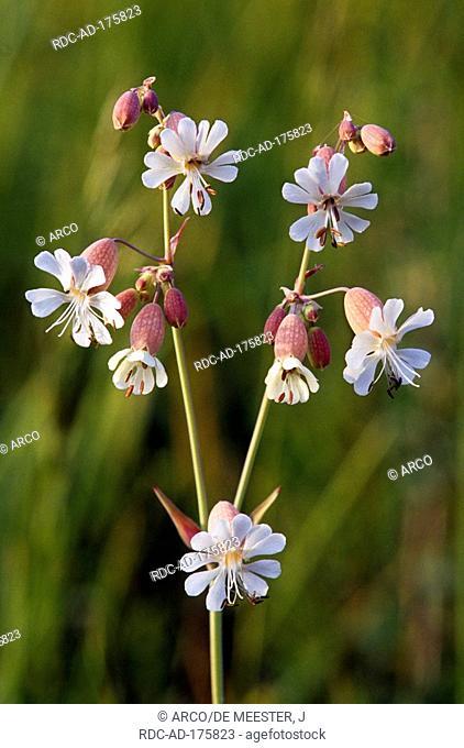 White Campion, Belgium, Melandrium album, Silene latifolia alba, Lychnis alba, Silene alba, Silene pratensis