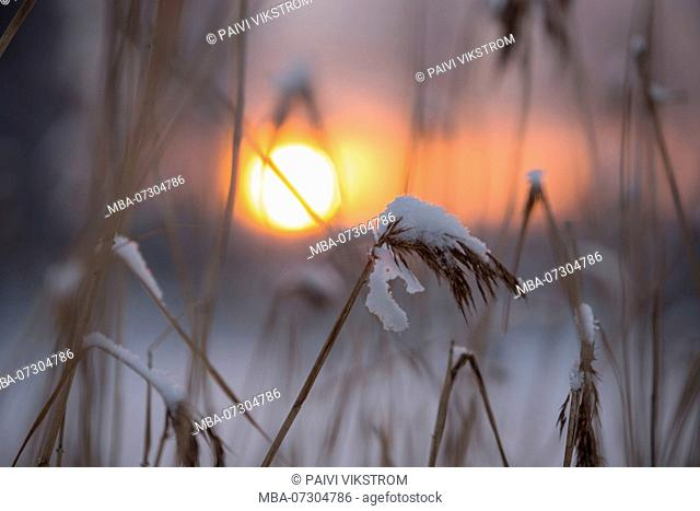 Reed Silhouettes Against Winter Sunset